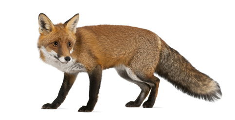Fox Pest Control London