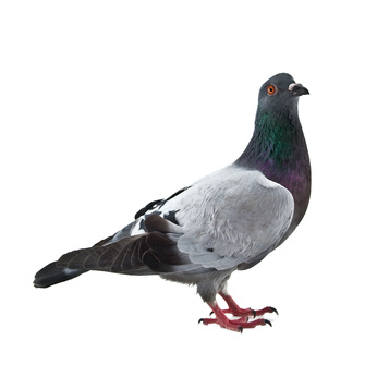 Pigeon Pest Control London