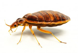bedbug infestation pest control london