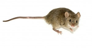 Mouse pest control london