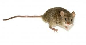 Mouse pest control london